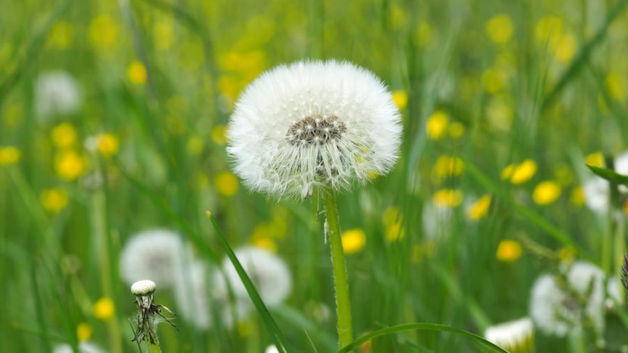 Puffy white dandelion in field