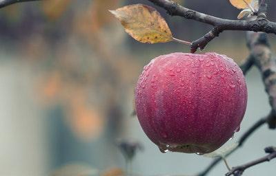 Red ripe apple on limb