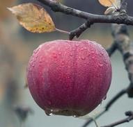 ripe red apple on a limb