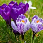 Crocuses blooming